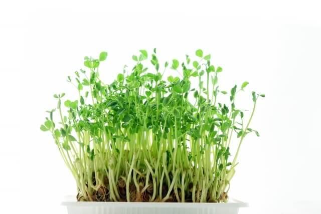 豆苗の切り方や育て方と置く場所はどこがいい?
