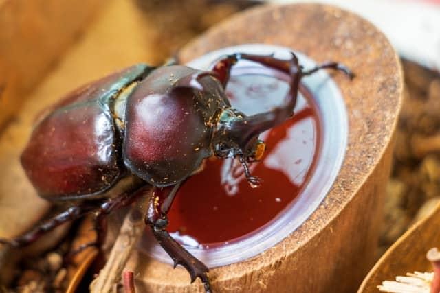 蚊取り線香はカブトムシやクワガタも大丈夫?